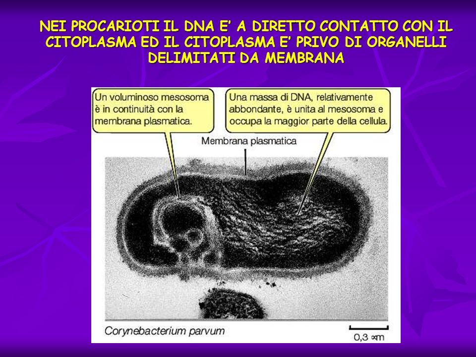 NEI PROCARIOTI IL DNA E' A DIRETTO CONTATTO CON IL CITOPLASMA ED IL CITOPLASMA E' PRIVO DI ORGANELLI DELIMITATI DA MEMBRANA