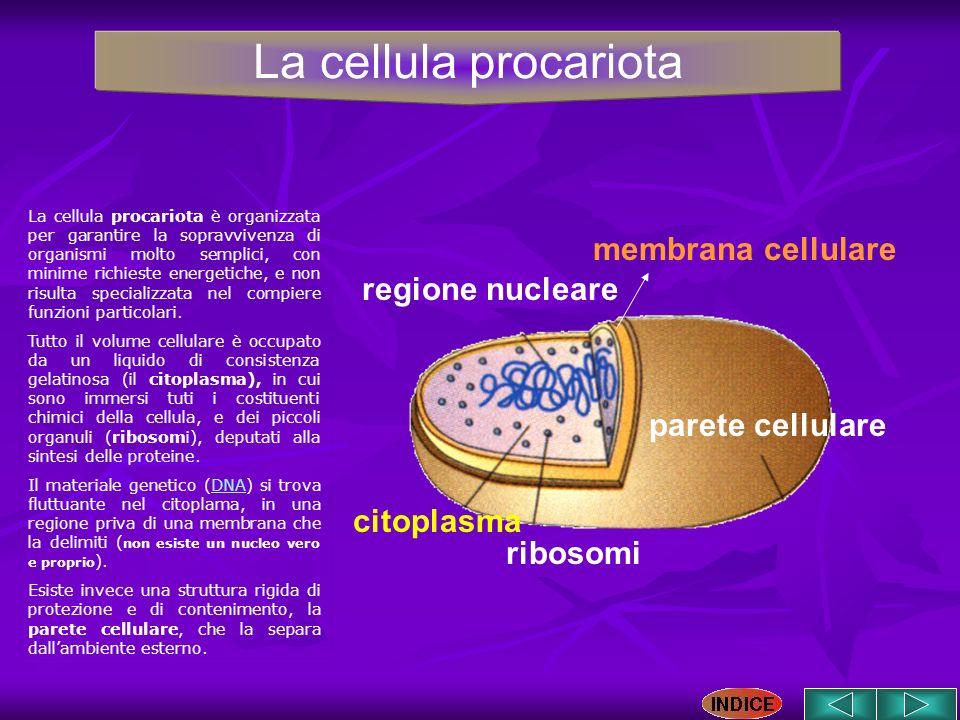 La cellula procariota membrana cellulare regione nucleare