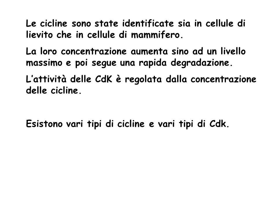 Le cicline sono state identificate sia in cellule di lievito che in cellule di mammifero.