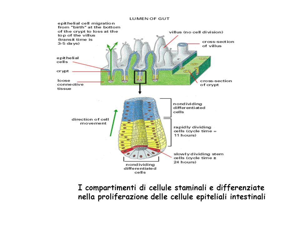 I compartimenti di cellule staminali e differenziate nella proliferazione delle cellule epiteliali intestinali