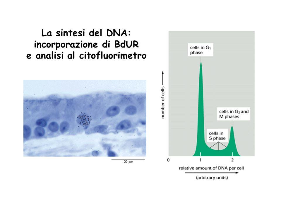 incorporazione di BdUR e analisi al citofluorimetro