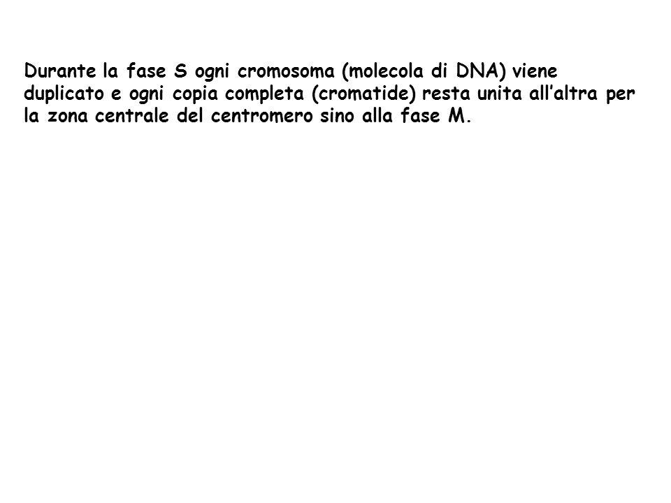 Durante la fase S ogni cromosoma (molecola di DNA) viene duplicato e ogni copia completa (cromatide) resta unita all'altra per la zona centrale del centromero sino alla fase M.