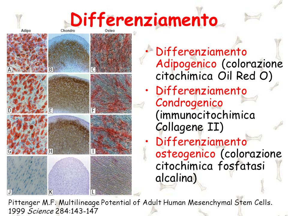Differenziamento Differenziamento Adipogenico (colorazione citochimica Oil Red O) Differenziamento Condrogenico (immunocitochimica Collagene II)