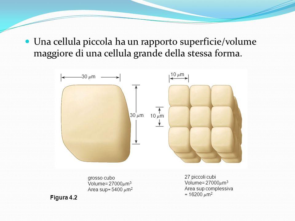 Una cellula piccola ha un rapporto superficie/volume maggiore di una cellula grande della stessa forma.
