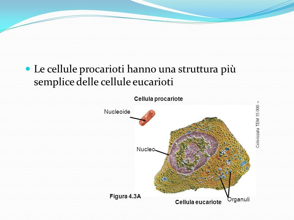 Le cellule procarioti hanno una struttura più semplice delle cellule eucarioti
