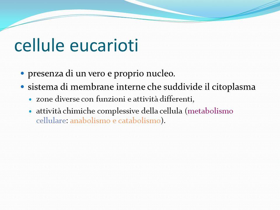 cellule eucarioti presenza di un vero e proprio nucleo.