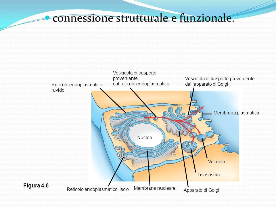 connessione strutturale e funzionale.