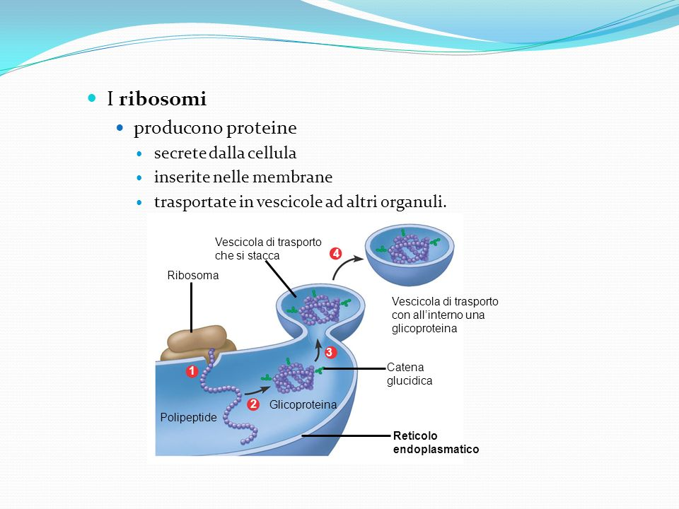 I ribosomi producono proteine secrete dalla cellula