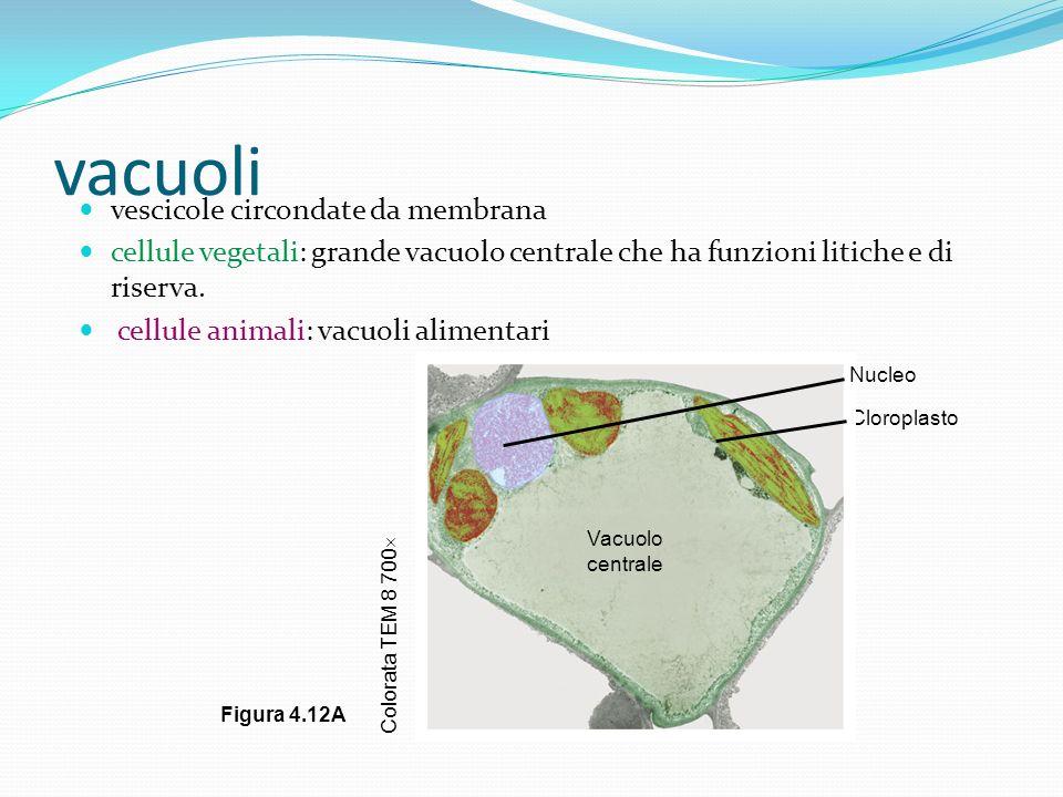 vacuoli vescicole circondate da membrana