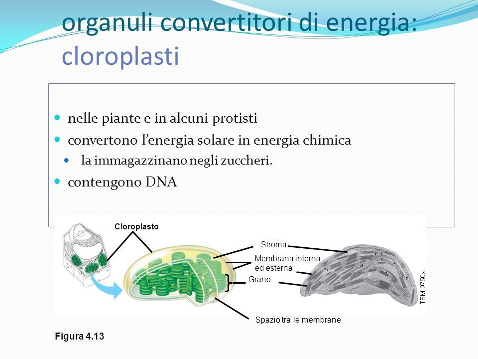 organuli convertitori di energia: cloroplasti