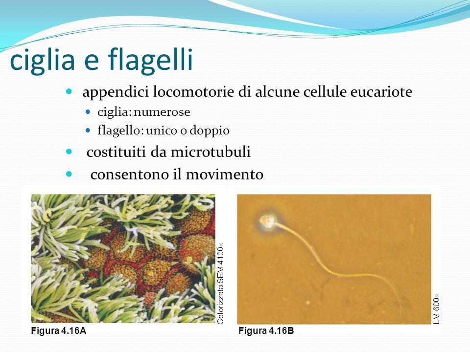 ciglia e flagelli appendici locomotorie di alcune cellule eucariote
