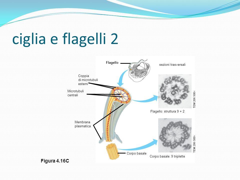 ciglia e flagelli 2 Figura 4.16C Flagello sezioni trasversali Coppia
