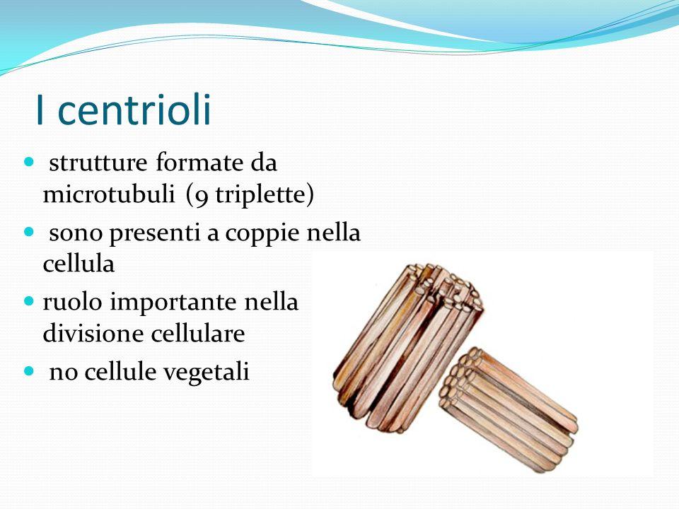 I centrioli strutture formate da microtubuli (9 triplette)
