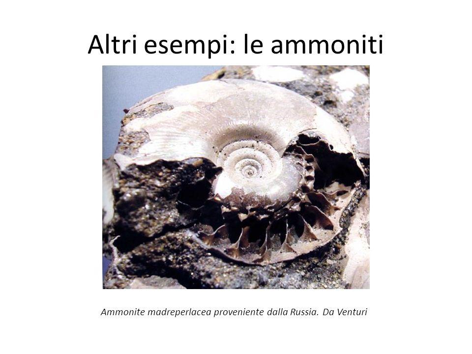 Altri esempi: le ammoniti