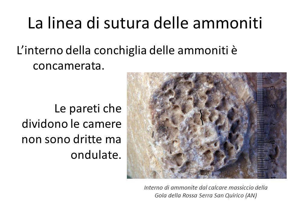 La linea di sutura delle ammoniti