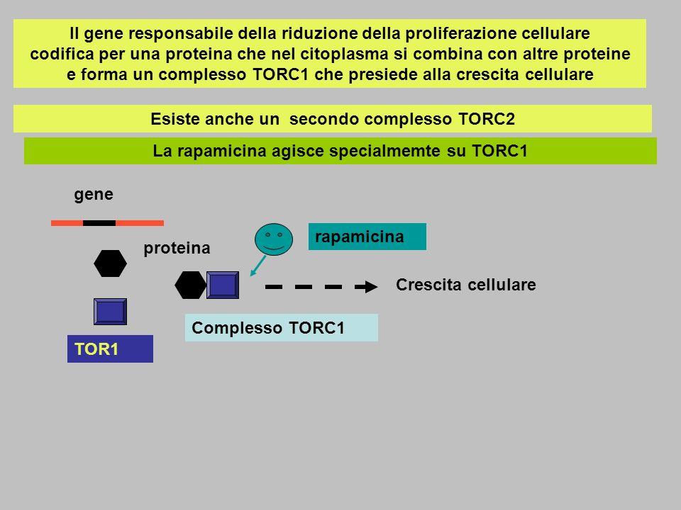 Esiste anche un secondo complesso TORC2