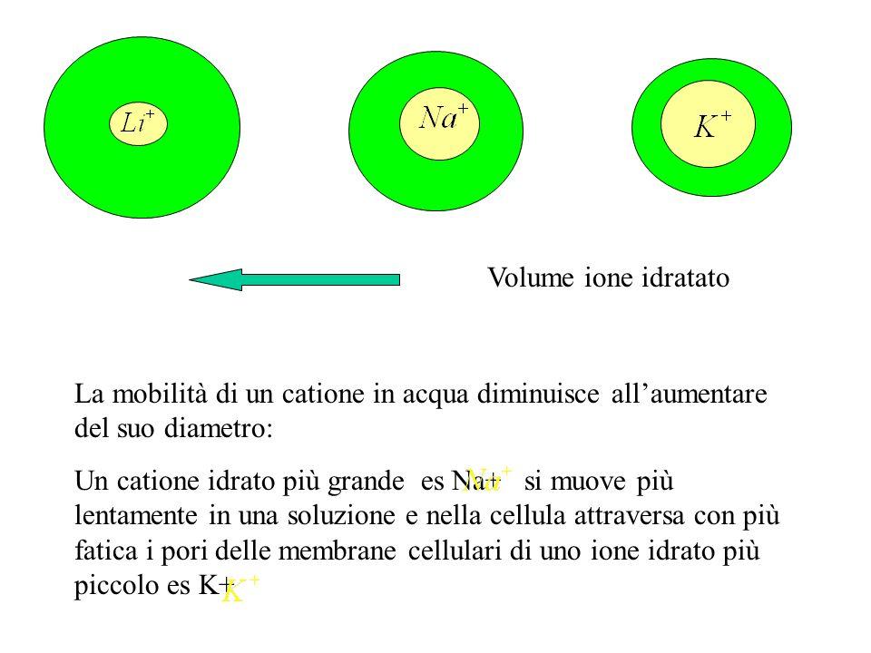 Volume ione idratato La mobilità di un catione in acqua diminuisce all'aumentare del suo diametro: