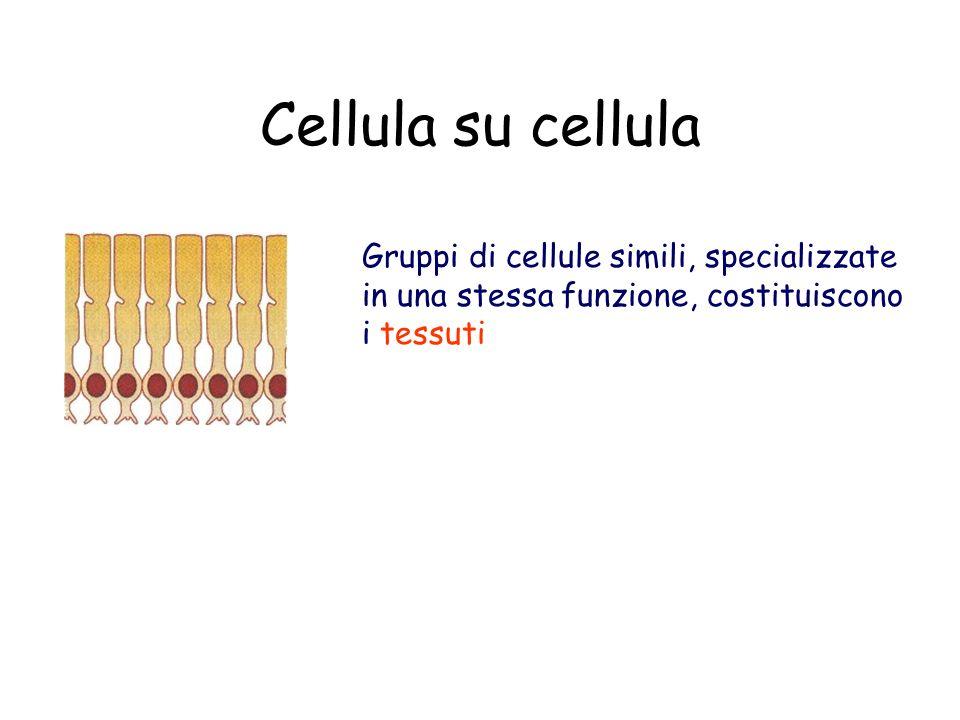 Cellula su cellula Gruppi di cellule simili, specializzate in una stessa funzione, costituiscono i tessuti.