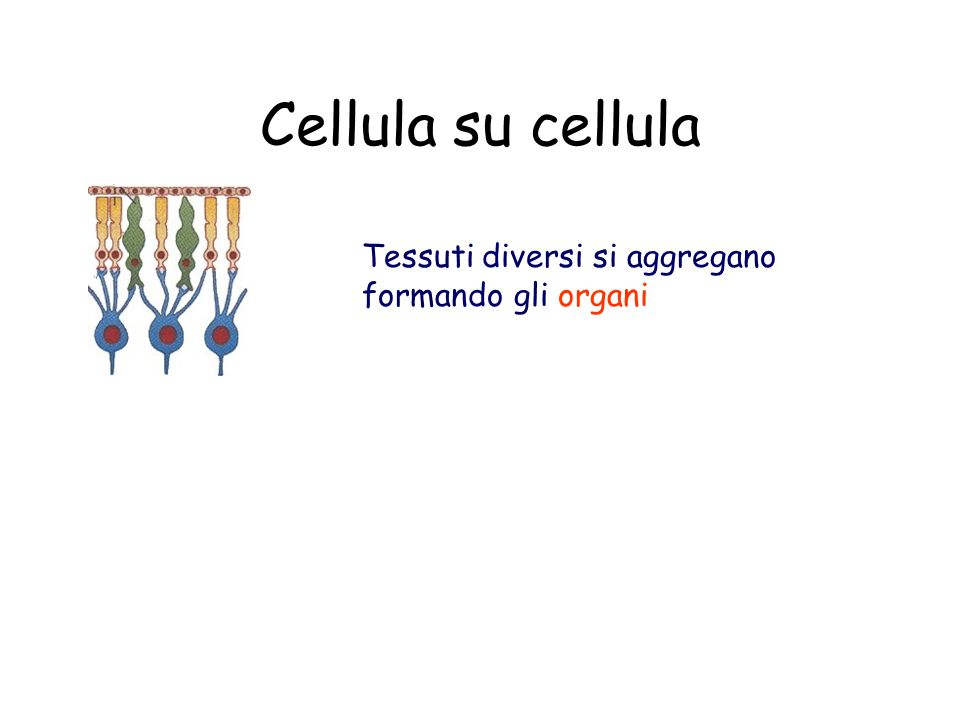 Cellula su cellula Tessuti diversi si aggregano formando gli organi