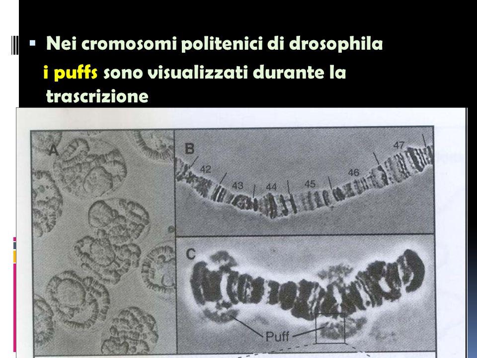 Nei cromosomi politenici di drosophila