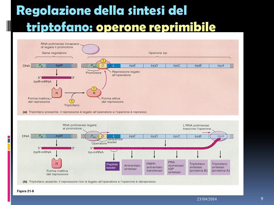 Regolazione della sintesi del triptofano: operone reprimibile