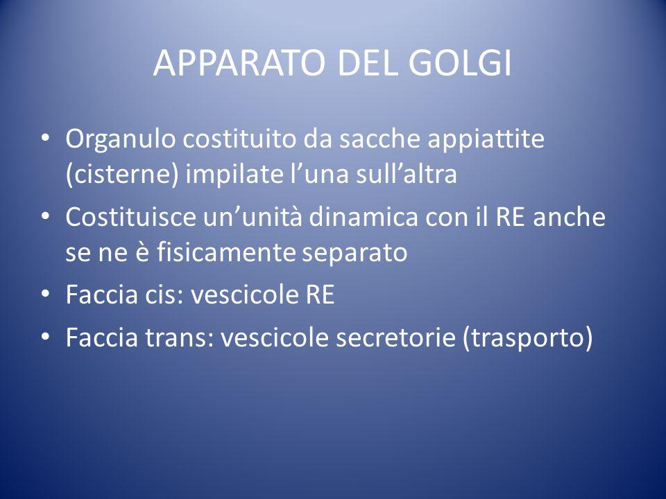 APPARATO DEL GOLGI Organulo costituito da sacche appiattite (cisterne) impilate l'una sull'altra.