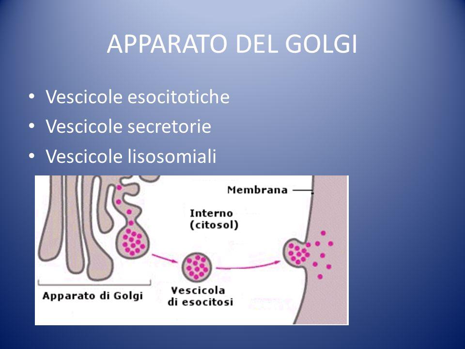 APPARATO DEL GOLGI Vescicole esocitotiche Vescicole secretorie