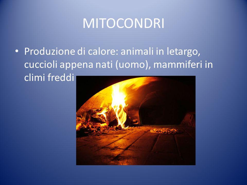 MITOCONDRI Produzione di calore: animali in letargo, cuccioli appena nati (uomo), mammiferi in climi freddi.