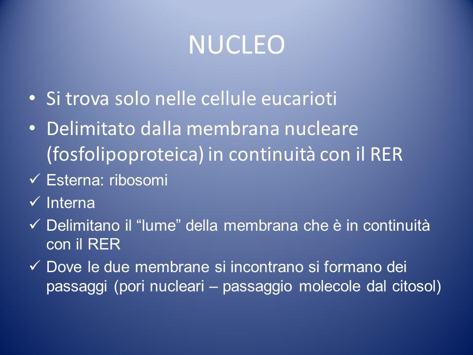 NUCLEO Si trova solo nelle cellule eucarioti