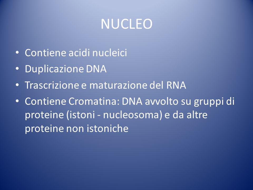 NUCLEO Contiene acidi nucleici Duplicazione DNA