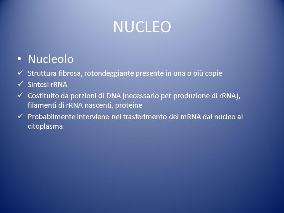 NUCLEO Nucleolo. Struttura fibrosa, rotondeggiante presente in una o più copie. Sintesi rRNA.