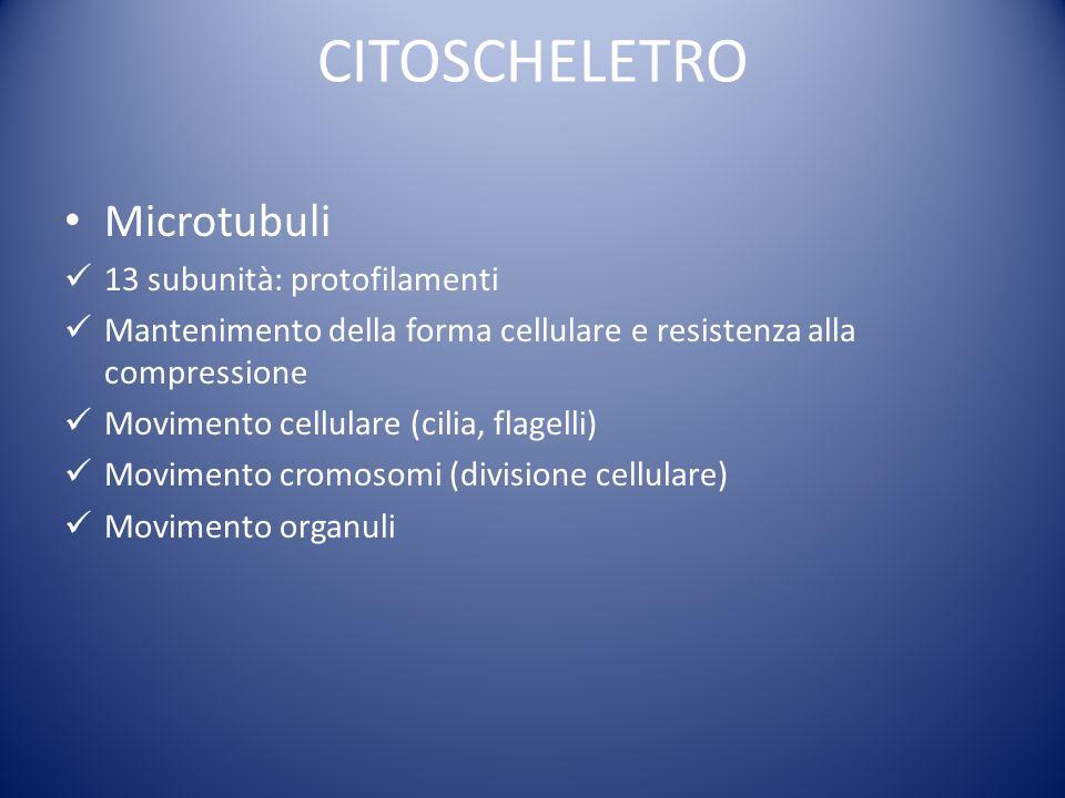 CITOSCHELETRO Microtubuli 13 subunità: protofilamenti