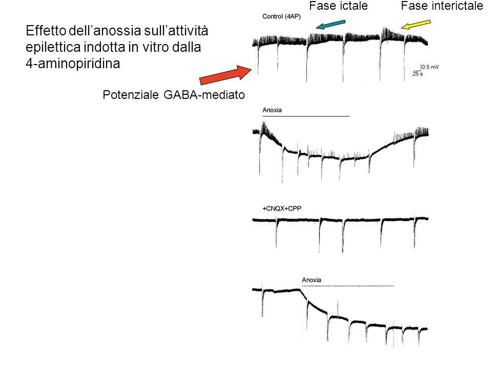 Fase ictale Fase interictale. Effetto dell'anossia sull'attività epilettica indotta in vitro dalla 4-aminopiridina.