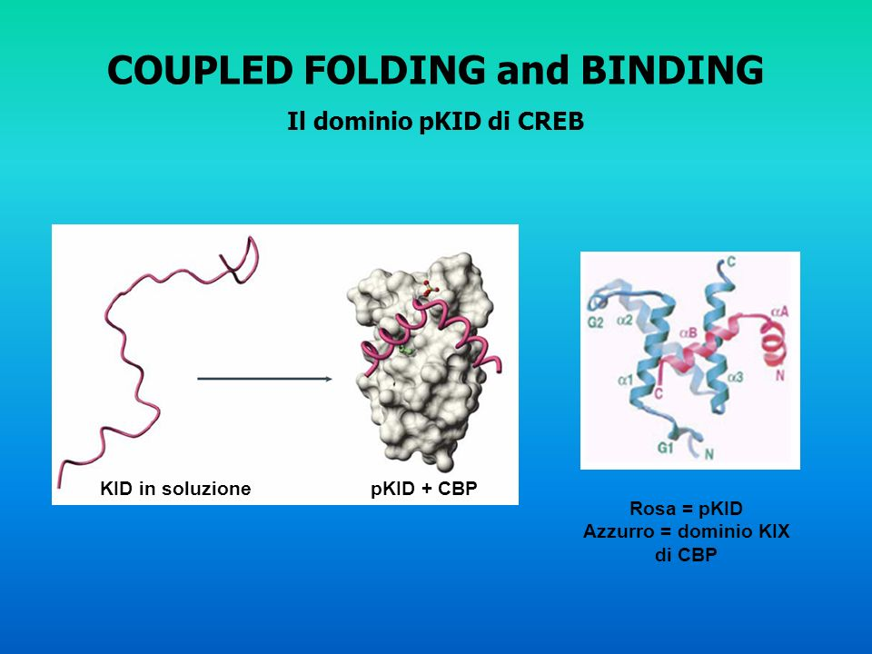 COUPLED FOLDING and BINDING Il dominio pKID di CREB