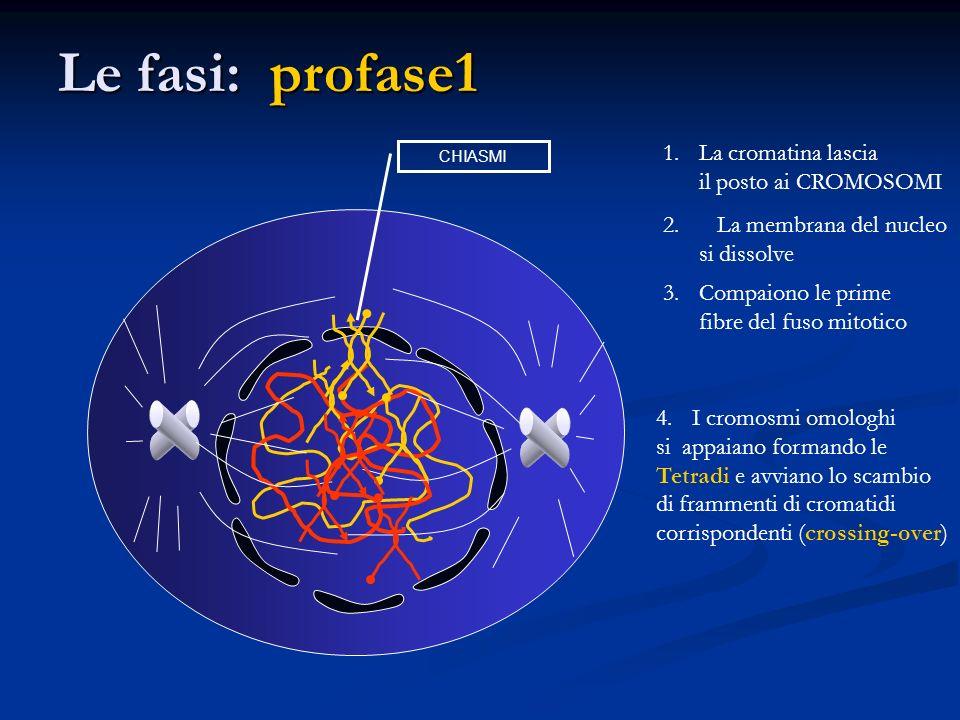 Le fasi: profase1 La cromatina lascia il posto ai CROMOSOMI