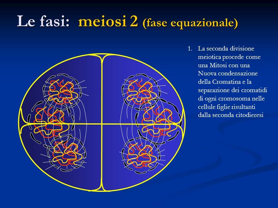 Le fasi: meiosi 2 (fase equazionale)