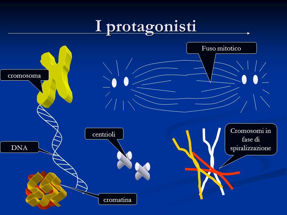 Cromosomi in fase di spiralizzazione
