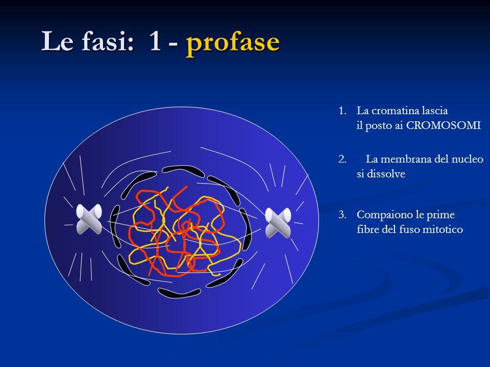 Le fasi: 1 - profase La cromatina lascia il posto ai CROMOSOMI