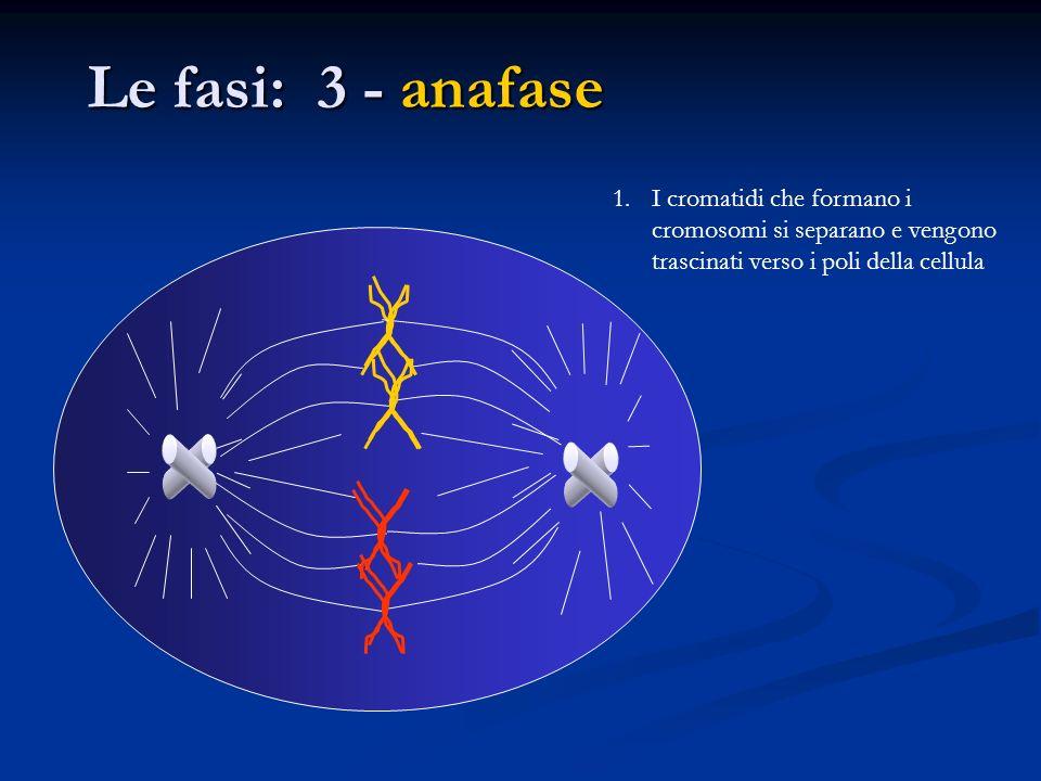Le fasi: 3 - anafase I cromatidi che formano i