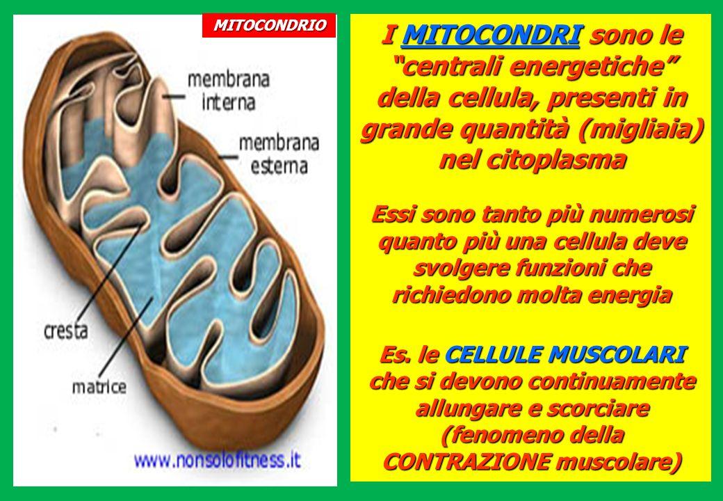 MITOCONDRIOI MITOCONDRI sono le centrali energetiche della cellula, presenti in grande quantità (migliaia) nel citoplasma.
