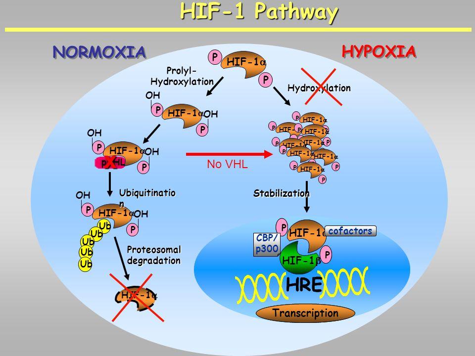 x HIF-1 Pathway HRE NORMOXIA HYPOXIA No VHL P HIF-1a HIF-1b