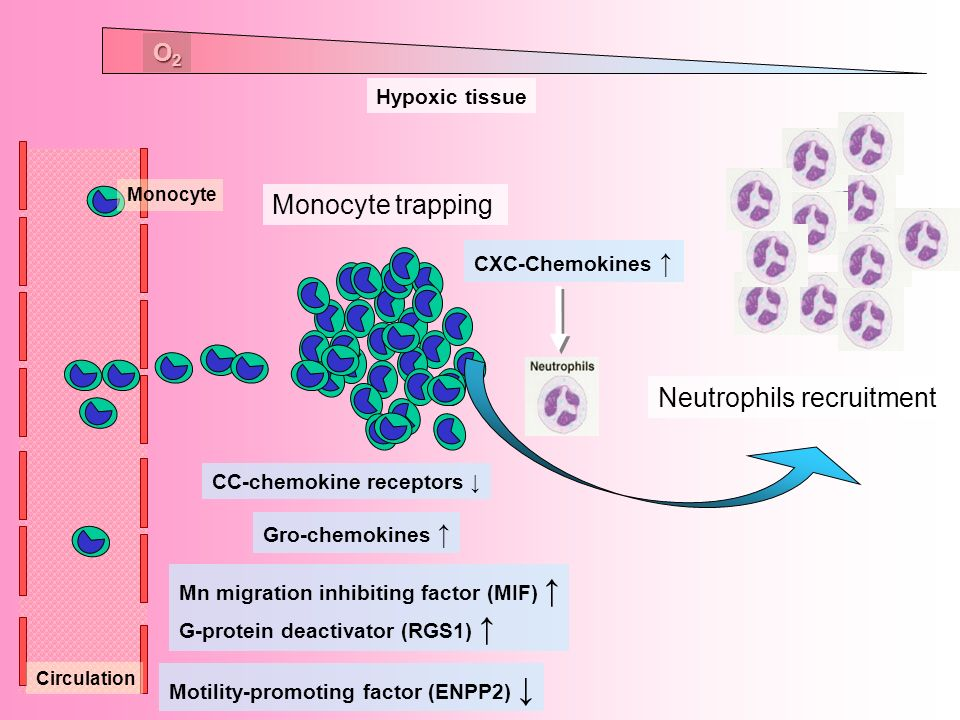 Neutrophils recruitment Monocyte trapping