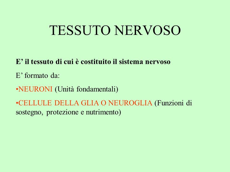 TESSUTO NERVOSO E' il tessuto di cui è costituito il sistema nervoso