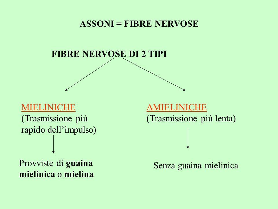 ASSONI = FIBRE NERVOSE FIBRE NERVOSE DI 2 TIPI. MIELINICHE (Trasmissione più rapido dell'impulso) AMIELINICHE (Trasmissione più lenta)