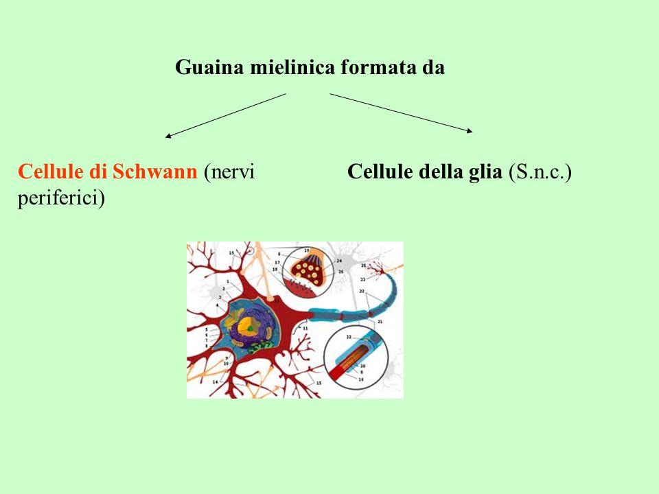 Guaina mielinica formata da