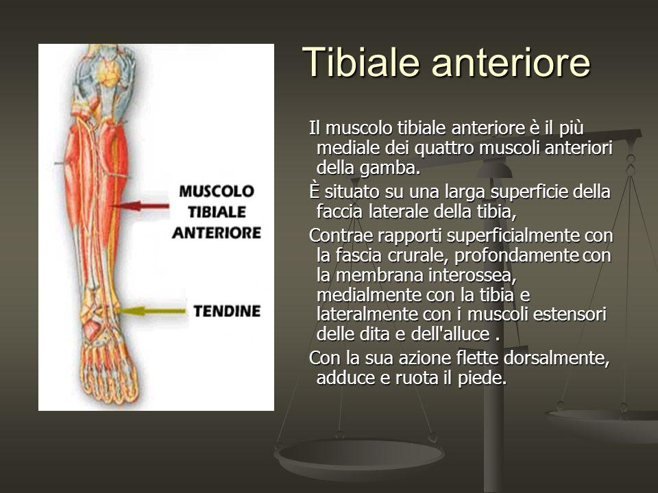 Tibiale anteriore Il muscolo tibiale anteriore è il più mediale dei quattro muscoli anteriori della gamba.