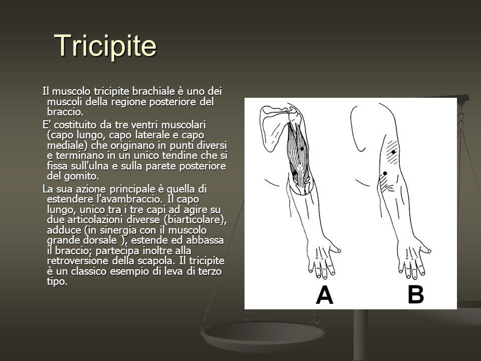Tricipite Il muscolo tricipite brachiale è uno dei muscoli della regione posteriore del braccio.