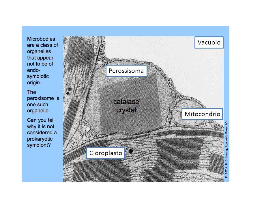Vacuolo Perossisoma Mitocondrio Cloroplasto