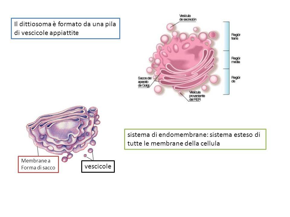 Il dittiosoma è formato da una pila di vescicole appiattite