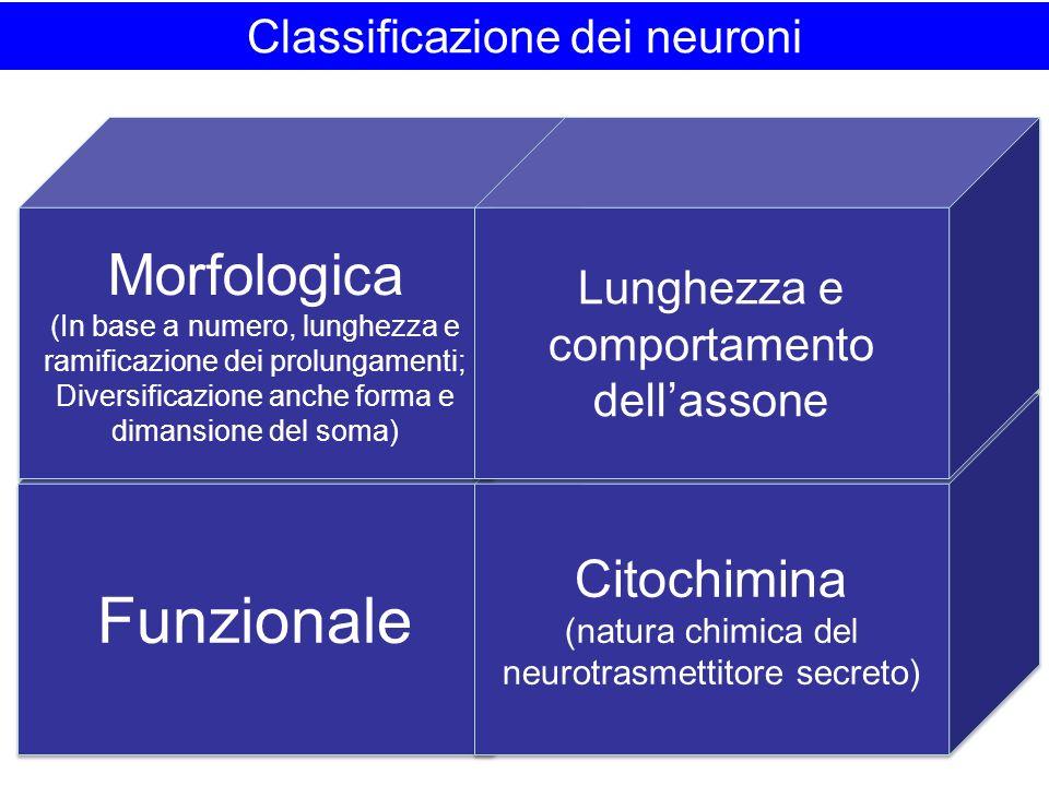 Funzionale Morfologica Citochimina Classificazione dei neuroni